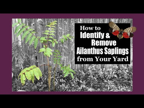How to Identify and Remove Ailanthus Saplings