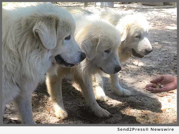 Three Great Pyrenees