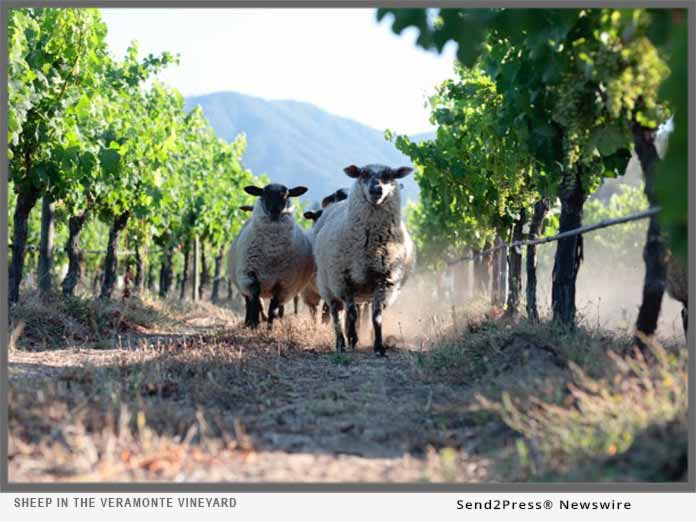 Sheep in the Veramonte Vineyard