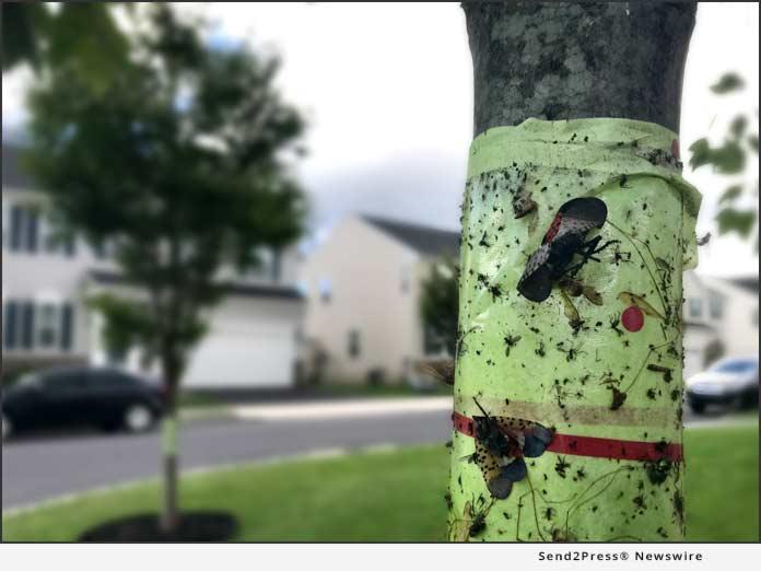 Lanternfly Sticky Band