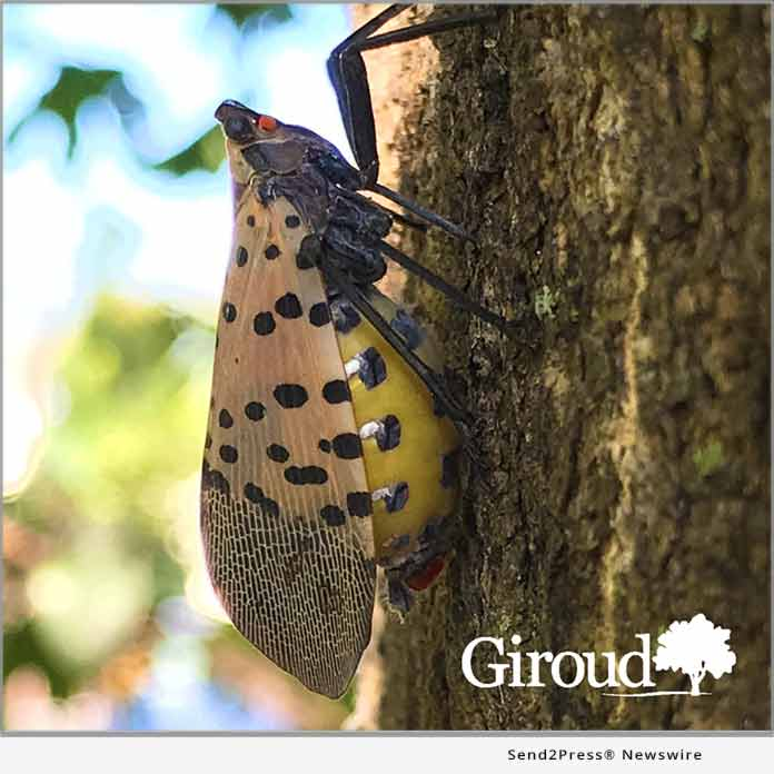 GIROUD - female spotted lanternfly