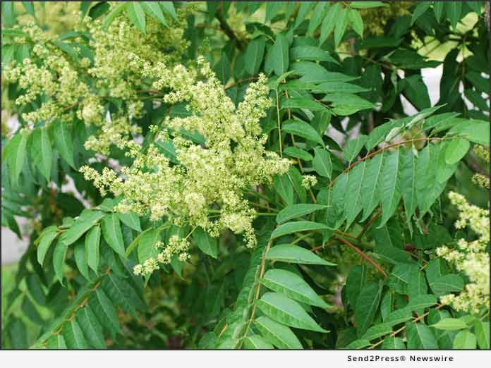 Giroud Tree and Lawn explains homeowners should remove Ailanthus trees, the host plant for Spotted Lanternfly