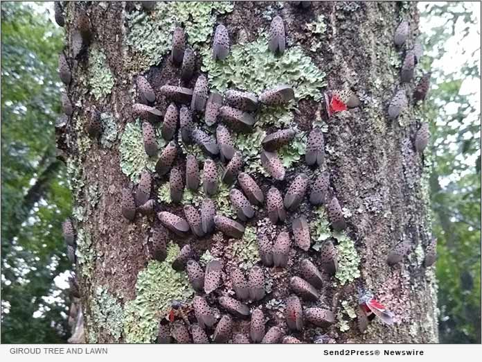Spotted Lanternfly swarming a Maple Tree